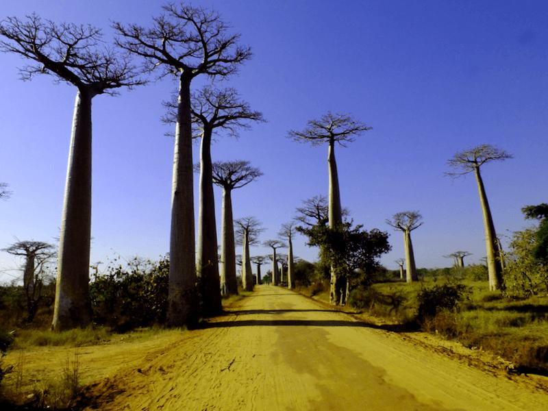Visitar Madagascar y maravillarse de Avenida de los baobabs