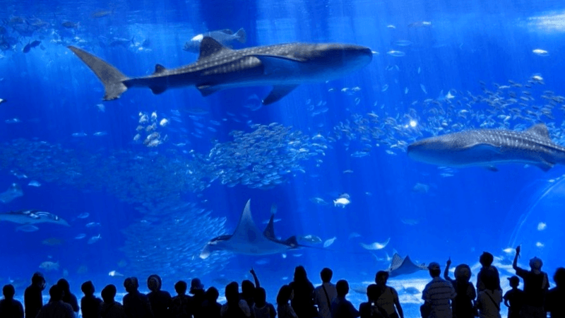 Que descubrir en Okinawa Churaumi Aquarium
